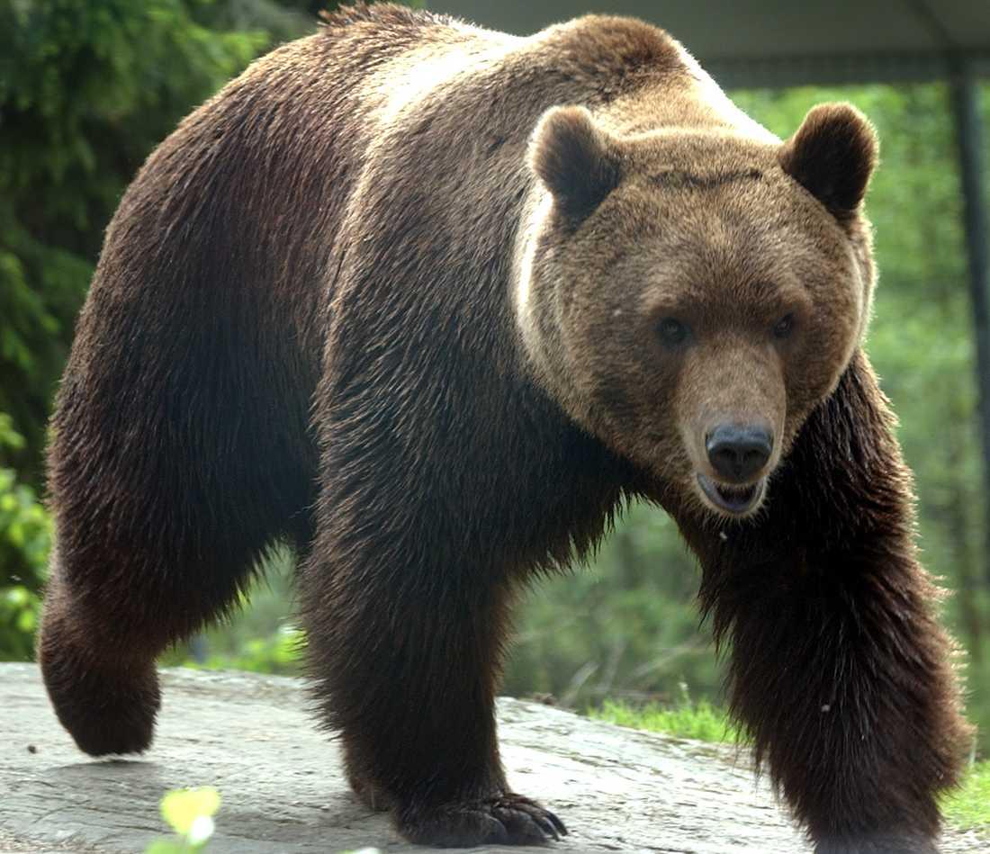 Bildresultat för björn