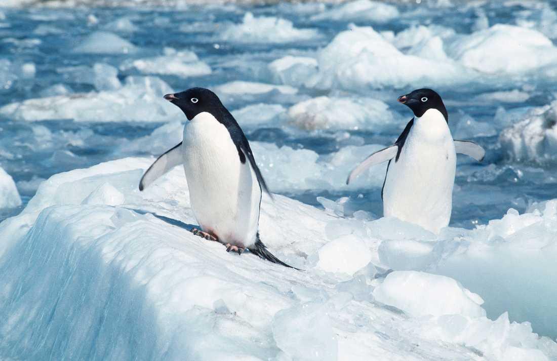 Pingviner i Antarktis får klara sig utan skyddszon. Arkivbild