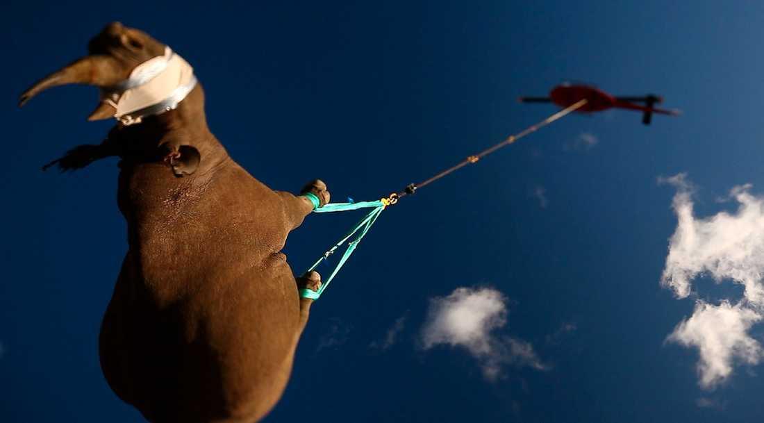 MED NOSEN I VÄDRET Noshörningen på nära 1,5 ton flygs till ett område i Sydafrika där inte tjuvskyttarna härjar lika fritt.