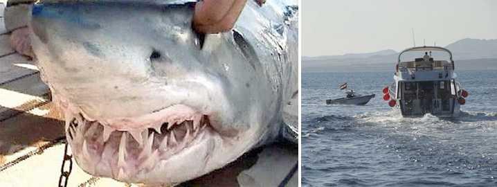 FÅNGADE FEL HAJ Flera hajattacker har inträffat vid turistorten Sharm el-Sheikh i Röda havet.