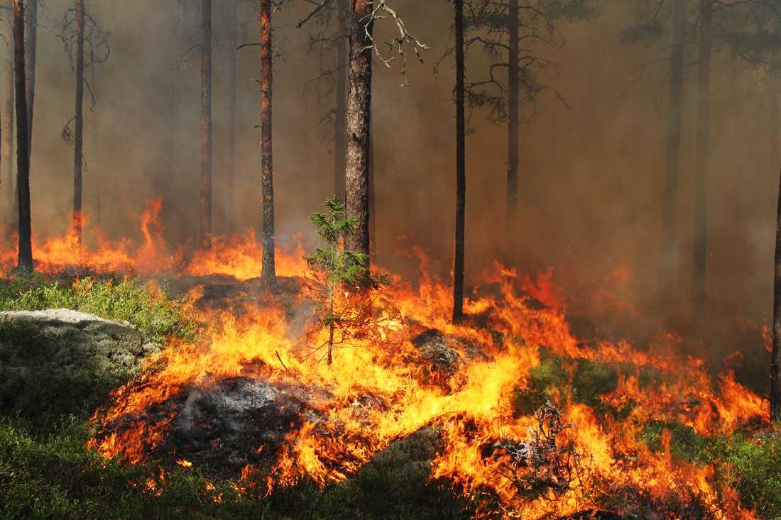 I den stora skogsbranden i Västmanland 2014 förstördes 13000 hektar skog. Värden för miljontals kronor gick, bokstavligen, upp i rök. Under den femte och mest intensiva dagen spred sig elden via trädkronorna med en hastighet av 80 meter per minut. Bilden är från ett annat tillfälle.