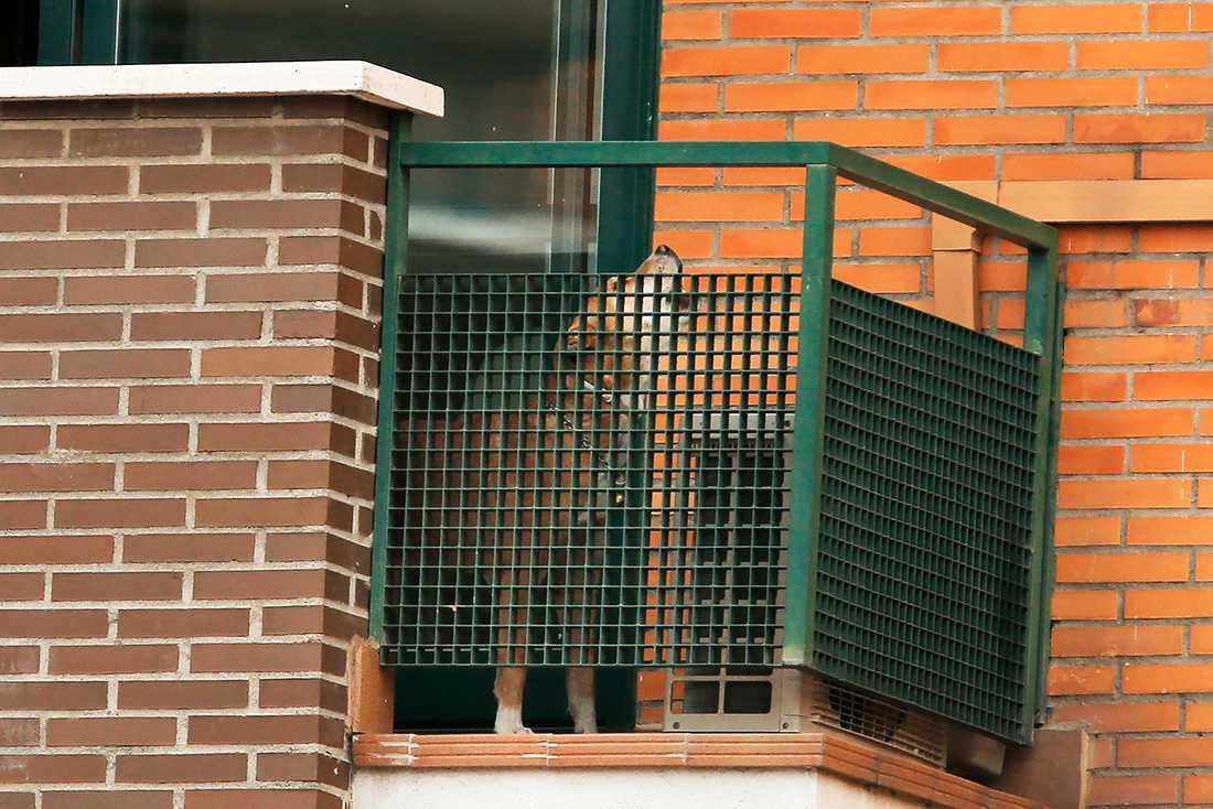 Hunden Excalibur tillbringade sin sista dag i den eboladrabbade familjens lägenhet i Madrid.