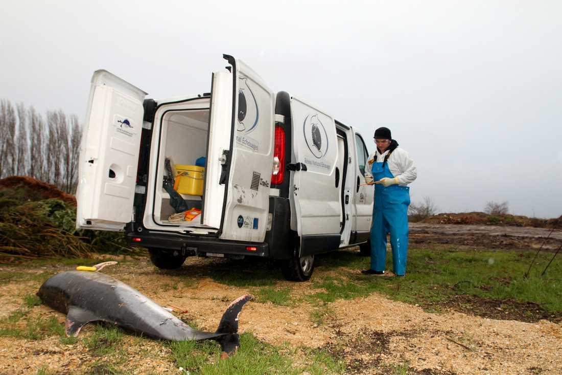 En bild från februari i år när en forskare från Observatoire Pelagis står vid en död delfin i Chatelaillon-les-Boucholeurs, västra Frankrike.