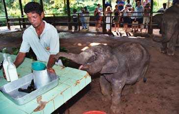 Fem månader gamla Dikiri blev övergiven av sin mamma och bor nu på elefanthemmet i Pinnewala.