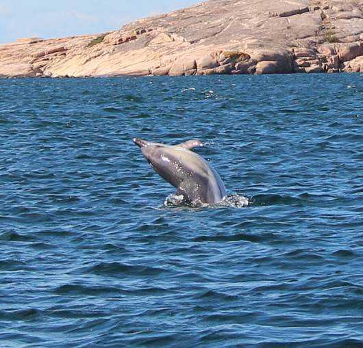 För en publik på omkring 40–50 personer höll delfinerna hov i en och en halv timme. Hur många delfinerna egentligen var är oklart.