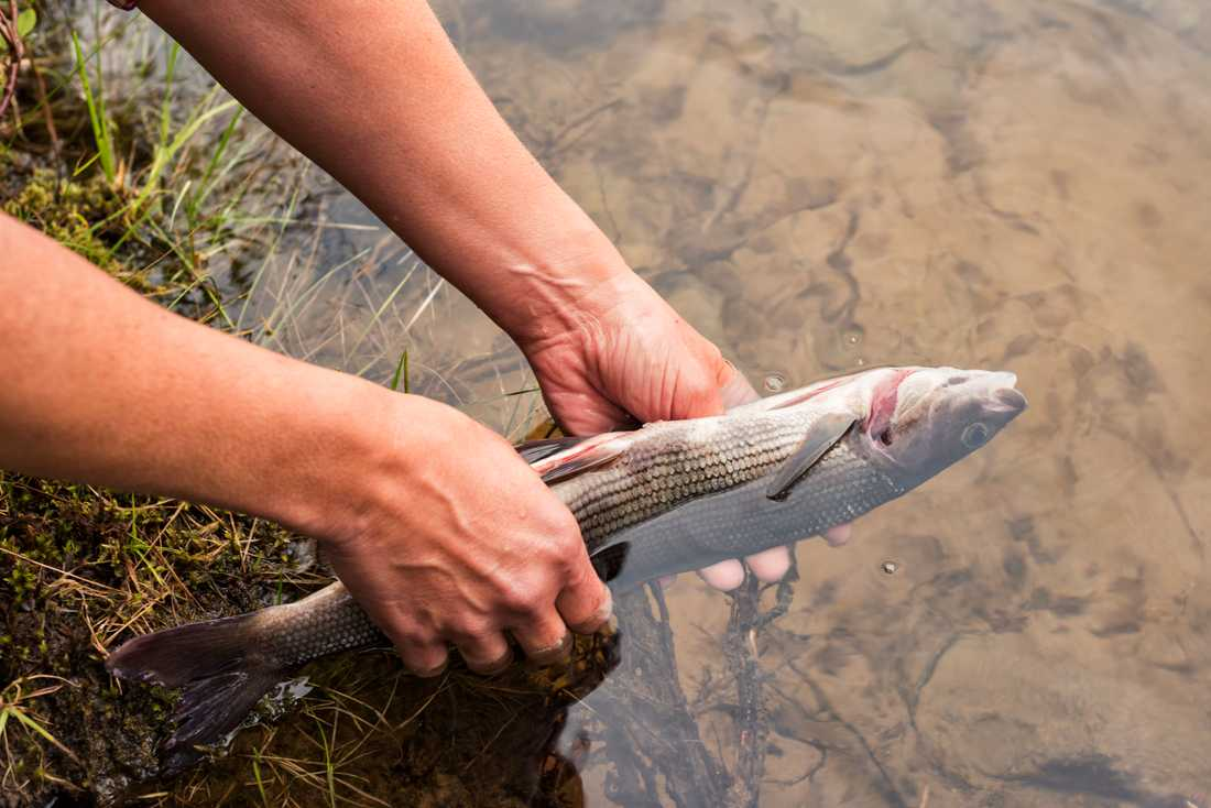 Hållbart fiske – så bra är de svenska butikskedjorna.