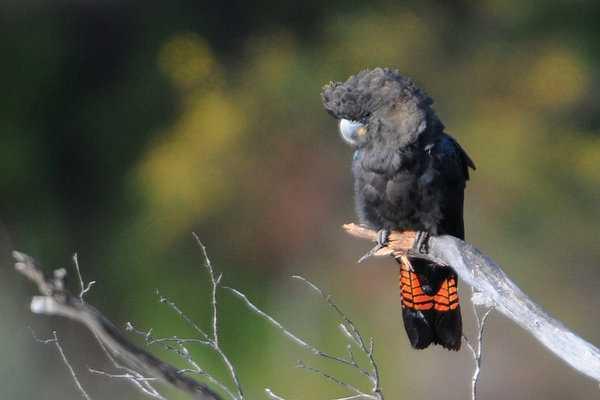 Glossy black-cockatoo, en variant av den svarta kakaduan, lever bara på Kangaroo Island.