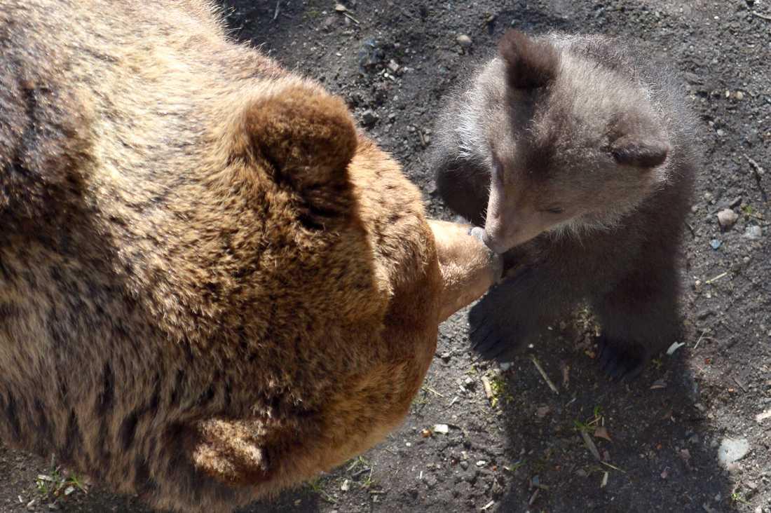 En björnhona på Orsa rovdjurspark i Dalarna har fött ungar. Arkivbild.