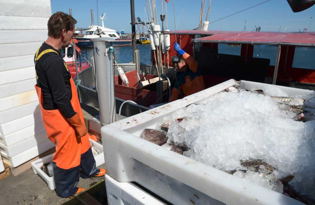 Torsk lossas från en fiskebåt i hamnen i Skillinge. Arkivfoto.