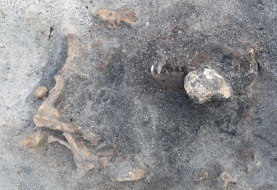 Kvarlämningarna av en 8400 år gammal hund som hittats vid Ljungaviken i Blekinge. Hunden tros ha begravts med gravgåvor.