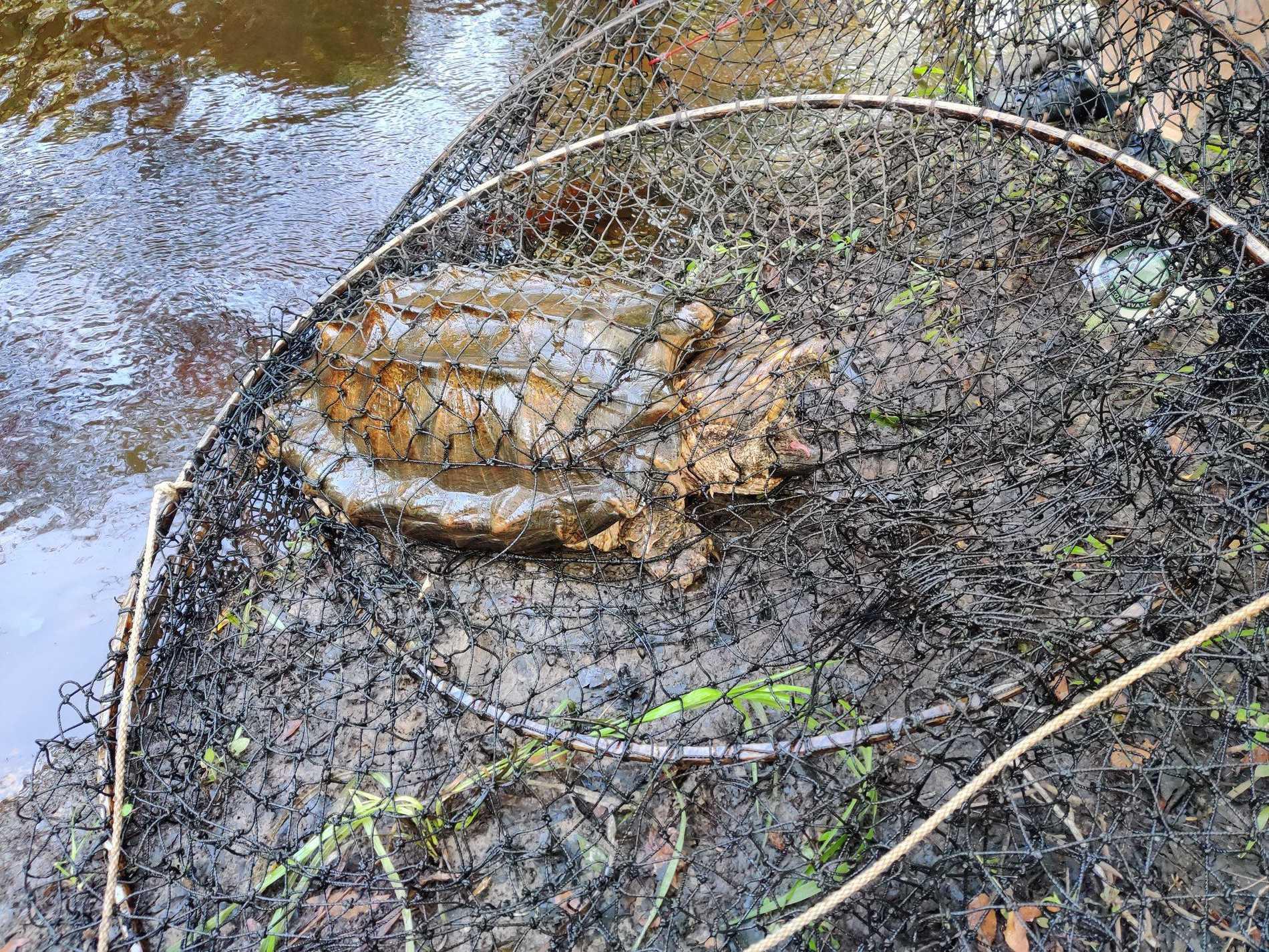 Alligatorsköldpaddorna släpptes efter fotografering ut i det fria igen.