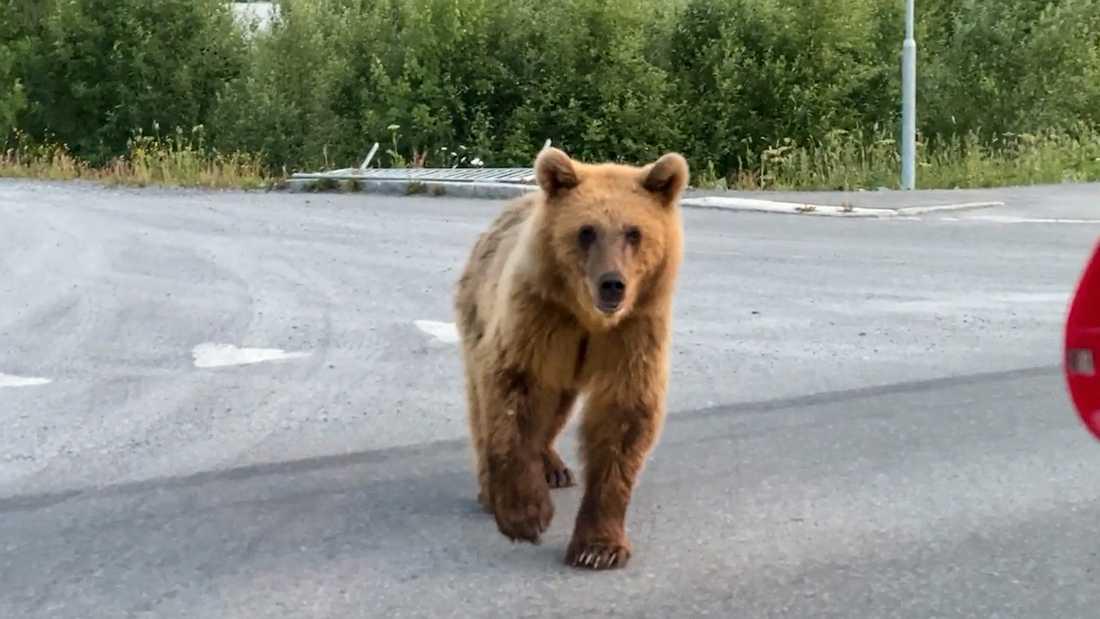 En björn promenerade i centrala Östersund under söndagen.