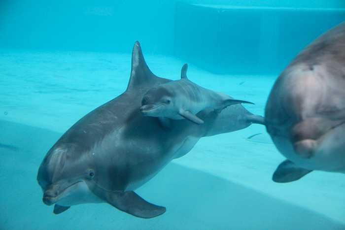 Delfinkalven Alana kommer att vara liten och söt i tre år ungefär.