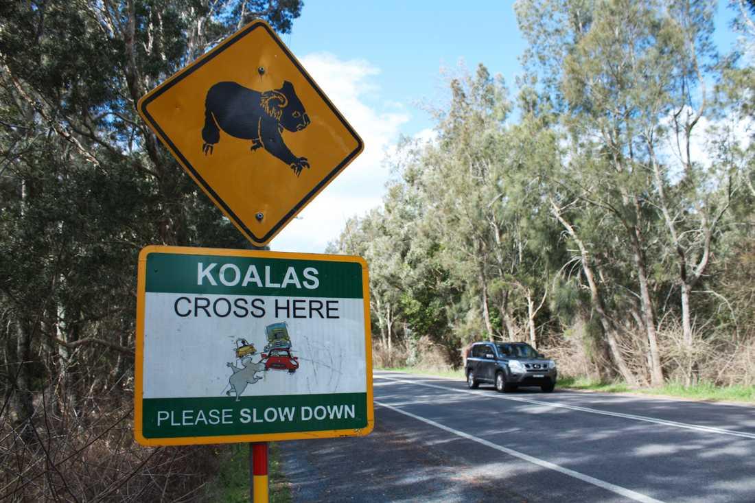"""Sue Ashton vid koalasjukhuset i Port Macquaire uppmanar bilförare på landsbygden att dra ner på farten. """"Även vid 70 kilometer i timmen så bryts en koalakäke, eller en känguru dödas, så sakta ner"""", säger hon. Arkivbild."""