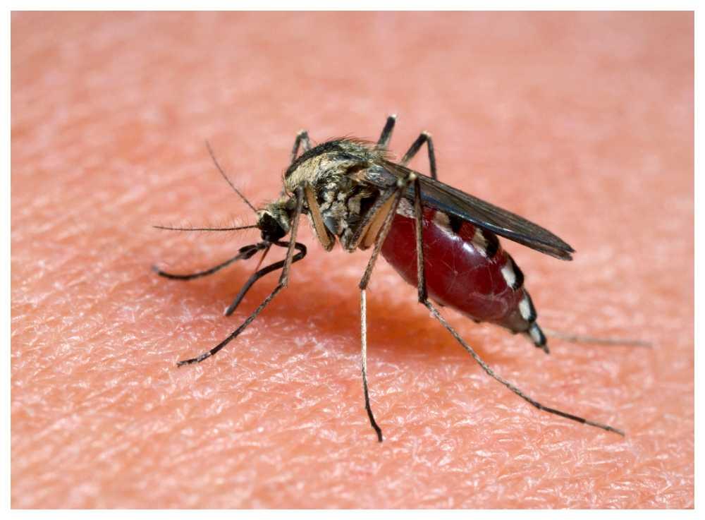 Harpest kan överföras till människor från bland annat myggor.