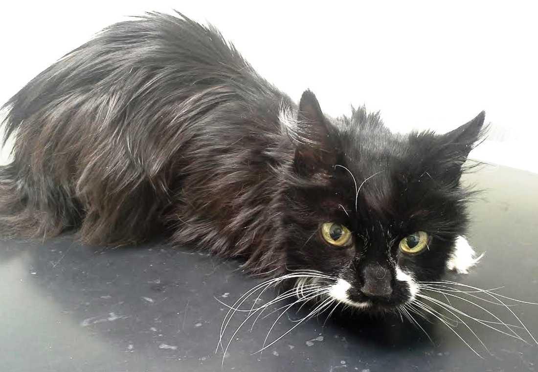 Katten Maja svalt ihjäl när hennes matte blev inlagd på sjukhus. Efter händelsen trädde Lex Maja i kraft.