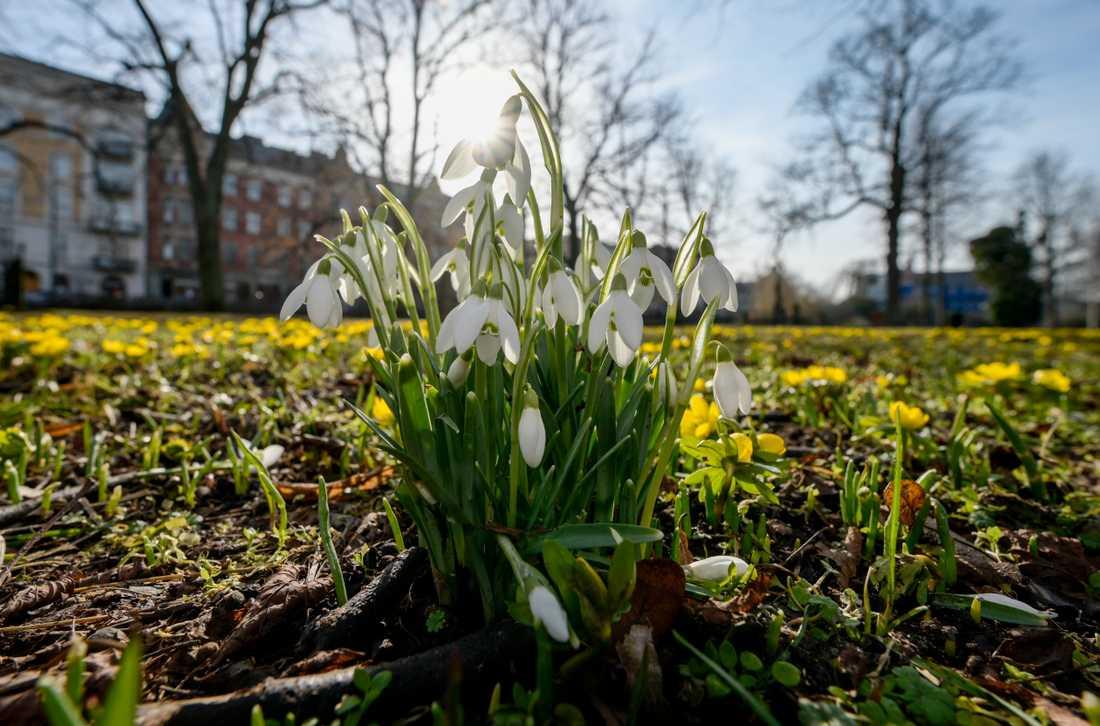 Snödroppar och vintergäck i full blom på gamla kyrkogården i centrala Malmö på onsdagen. Onsdagen bjöd på behaglig vårvärme när termometern visade tvåsiffrigt i den södra delen av landet.