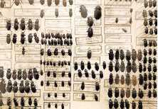 Samling av skalbaggar från en pågående Darwin-utställning på Schirn-museet i Frankfurt.Foto: AP