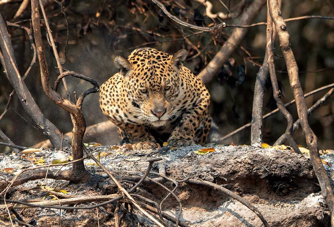 Skogsbränderna i Sydamerika hotar djurlivet. Här en jaguar i våtmarkerna i brasilianska delen av Pantanal. Arkivbild