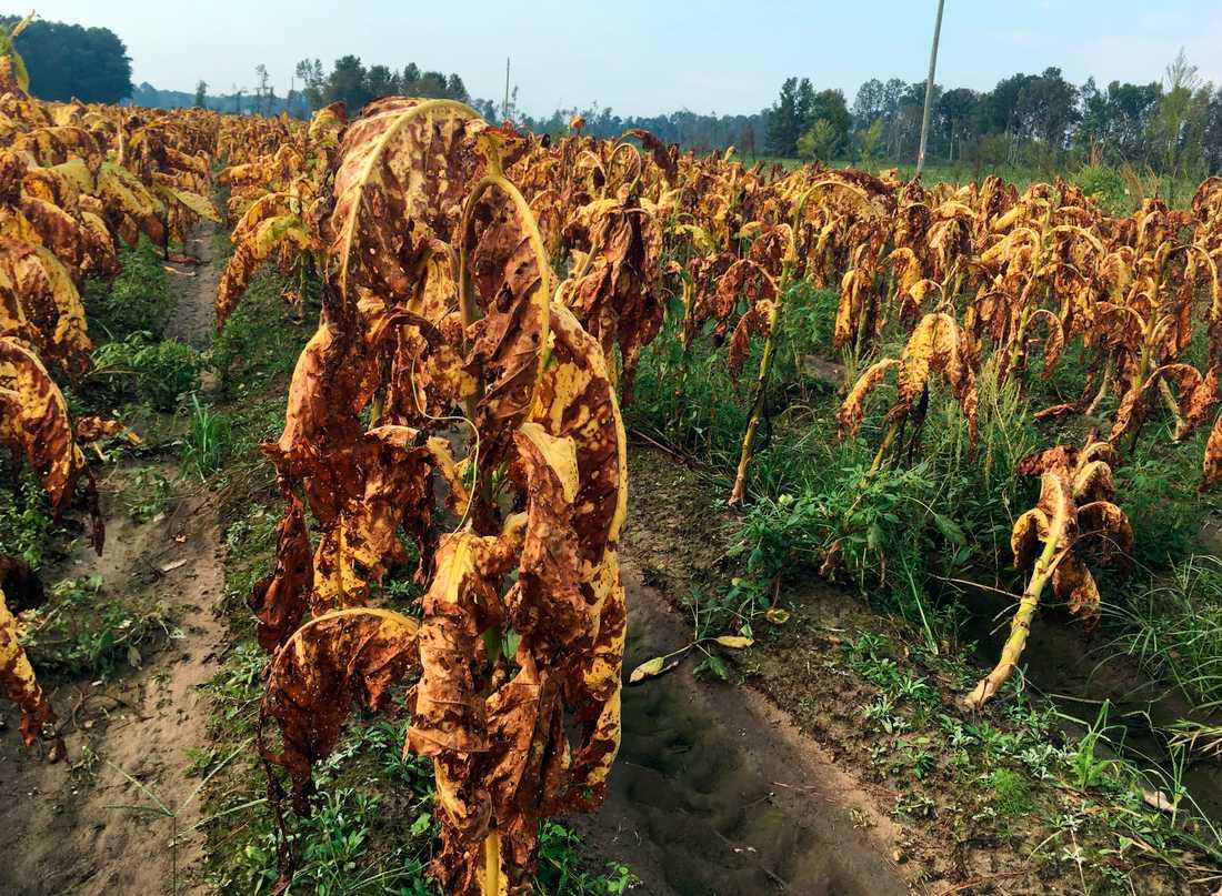 Tobaksplantor har lämnats orörda på en gård i Fremont, North Carolina. Bonden Craig West som äger gården säger till AP att plantorna är lika svåra att sälja som en bunt bruna bananer och fältet är ändå för lerigt efter regn och oväder, att de är omöjliga att skörda.