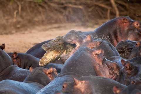 2. Men flodhästarna får grepp om krokodilen.