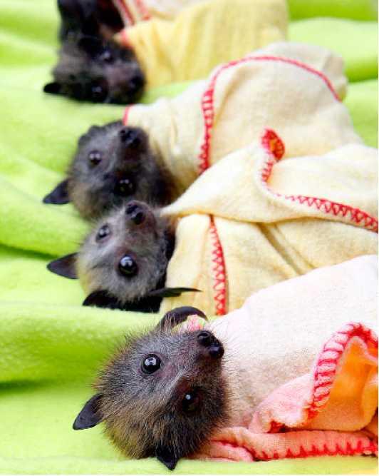 mörkrets minstingar De knappt fyra veckor gamla fladdermusungarna hittades utspridda på marken efter översvämningarna i Australien. Nu får de intensivvård på en fladdermusklinik och kan förhoppningsvis vara i luften igen om fyra veckor.