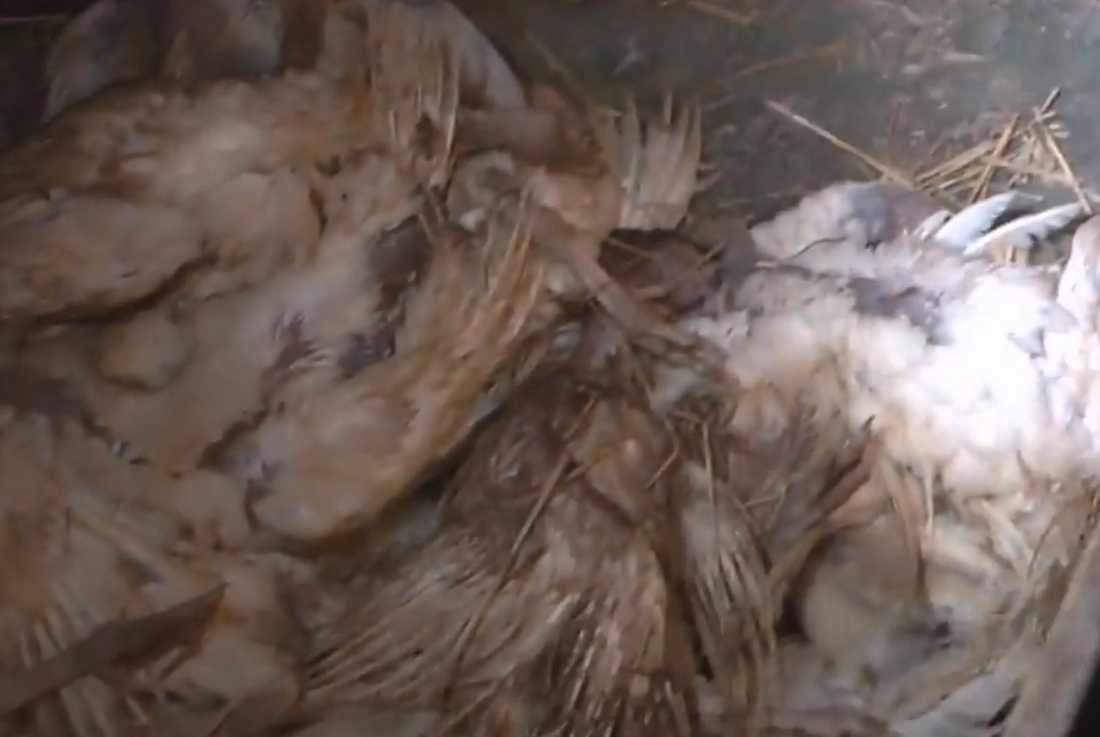 I ett hörn av lokalen där kalkonerna hölls låg det döda djur i en hög.