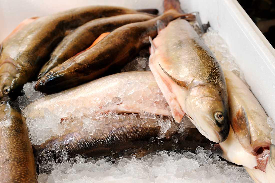 Röding får grönt ljus från Världsnaturfonden om den är fiskad i svensk insjö. Arkivbild.