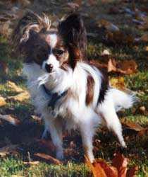 Papillonen Fiddeli blev sex år.