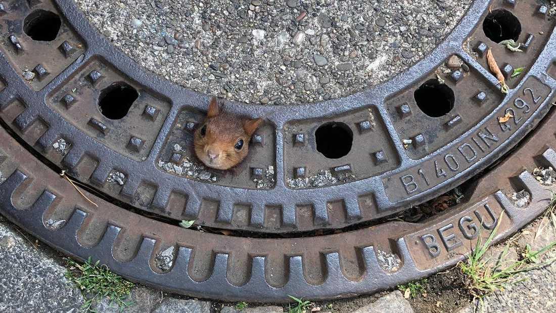 Ekorrens lilla huvud stack ut ur ett hål i locket.