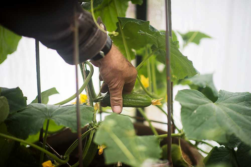 Gurkor passar bra i eget växthus, men fungerar också mot söderväggen.