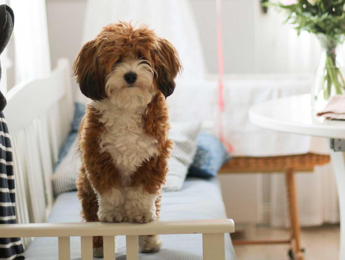Hunden Håkan, bichon havanais, från Enköping har blivit utsedd till frimärkshund i Postnords tävling.