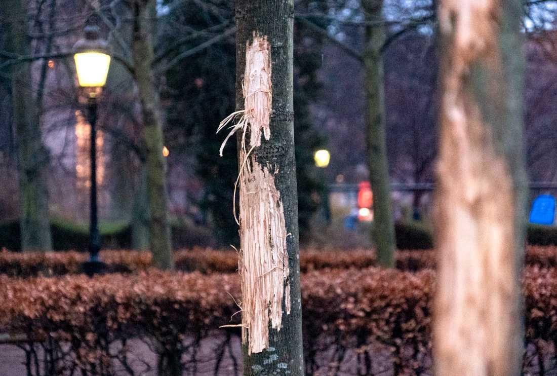 Vandaliserade träd utanför Stadsbiblioteket i Malmö. Bilden är tagen i december. Arkivbild.