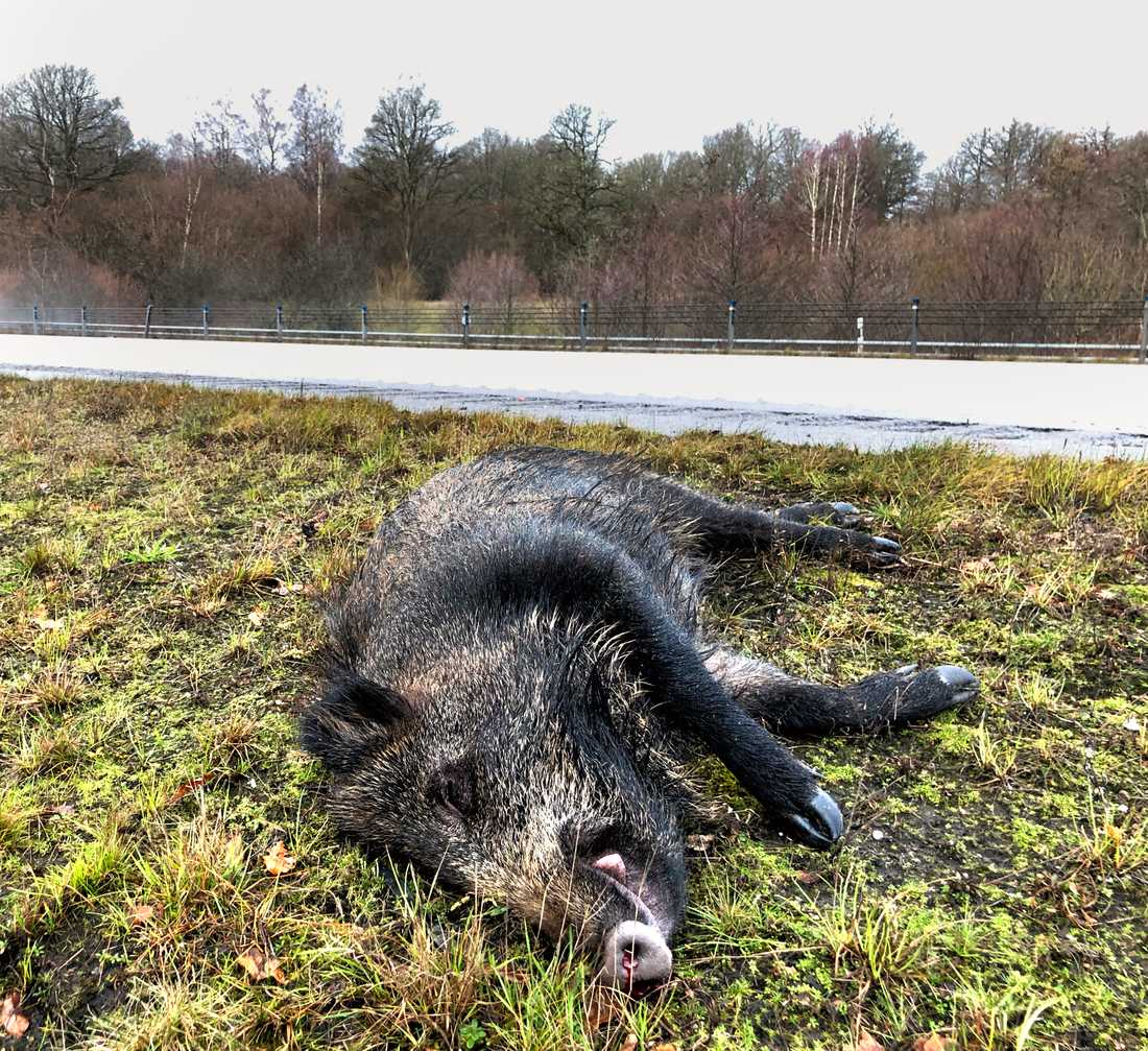 Ett vildsvin som dödats i en trafikolycka i Västergötland. Arkivbild.