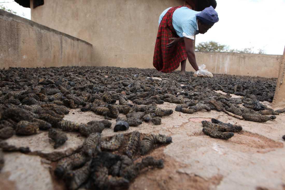Mopanelarver som plockats och lagts ut för torkning i en by i Zimbabwe. Arkivbild.