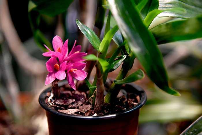 Vacker nyhet: en rosa orkidé