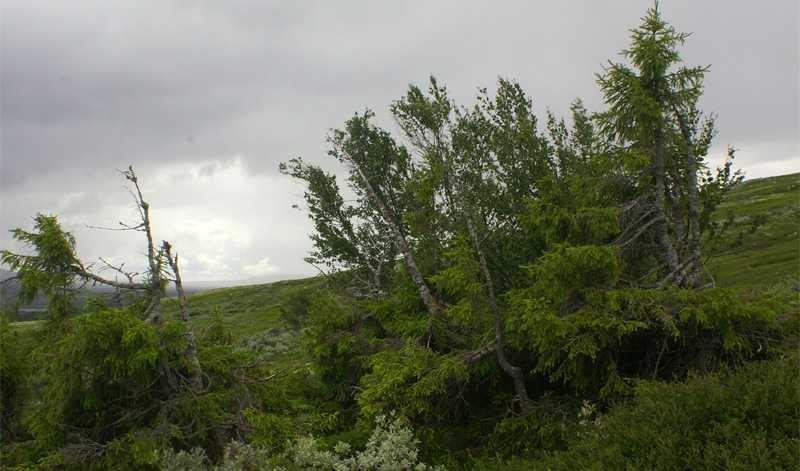 Knatte Världens äldsta kända levande gran är 7 890 år, visar länsstyrelsens undersökningar med kol 14-metoden.