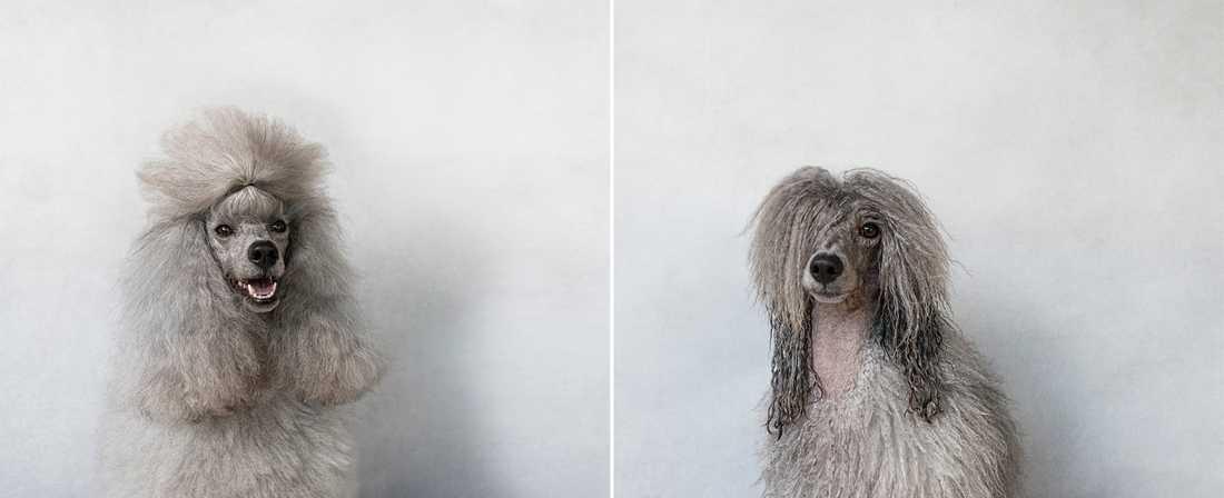 Miss Mei Li – Mini Poodle