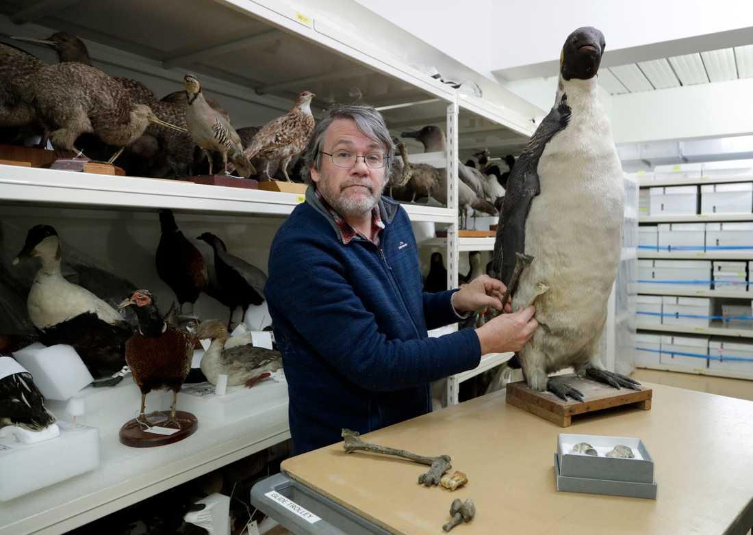 Paul Scofield, curator vid Canterburymuseet, jämför det upphittade benet med samma ben från en uppstoppad kejsarpingvin – den största i dag levande pingvinarten.