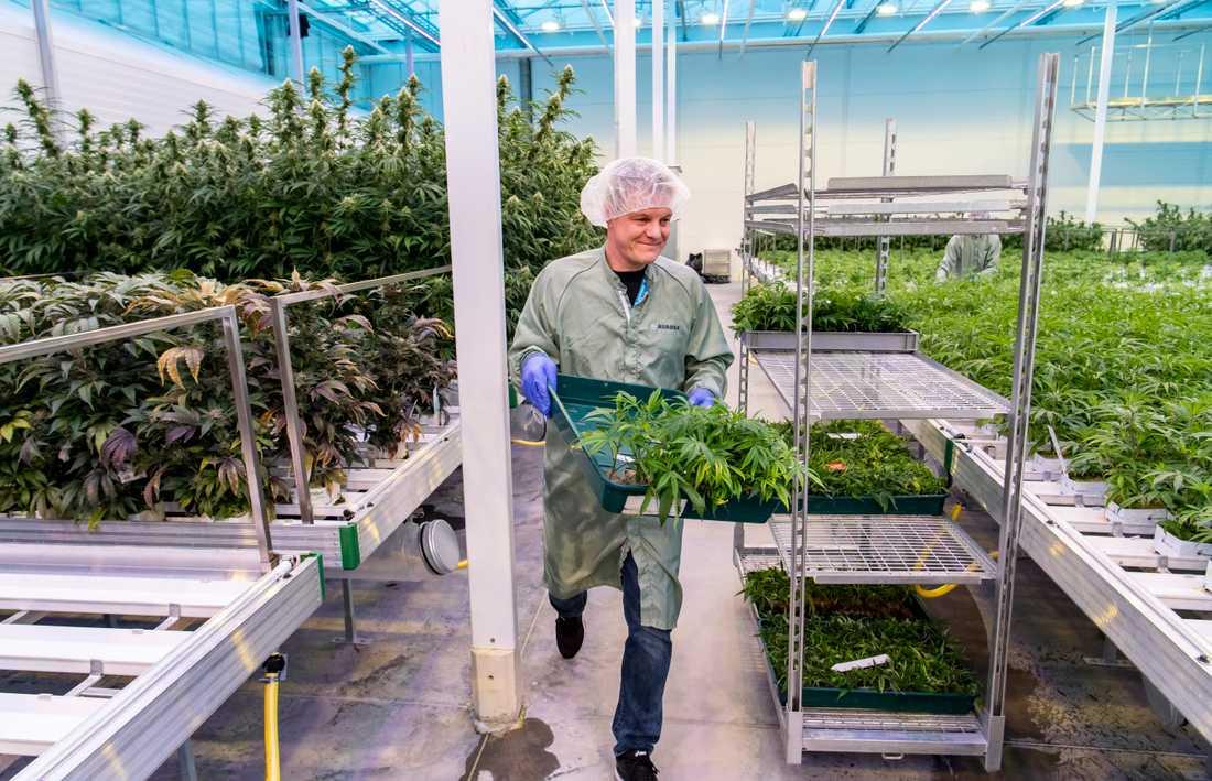Trädgårdsmästare Ulrich Hansen har tidigare jobbat med krukväxt- och julgransodling. Nu pysslar han om cannabisplantor på Aurora Nordic i Odense.