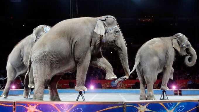 Elefanterna Ramboline, Lara, Djunga och Jenny köptes från cirkusen.