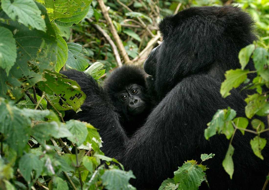 En bergsgorilla med sin unge i Virunga nationalpark i östra Kongo-Kinshasa. Bergsgorillorna har blivit extra utsatta för tjuvjägare under pandemin eftersom parken är stängd för besökare. Arkivbild.