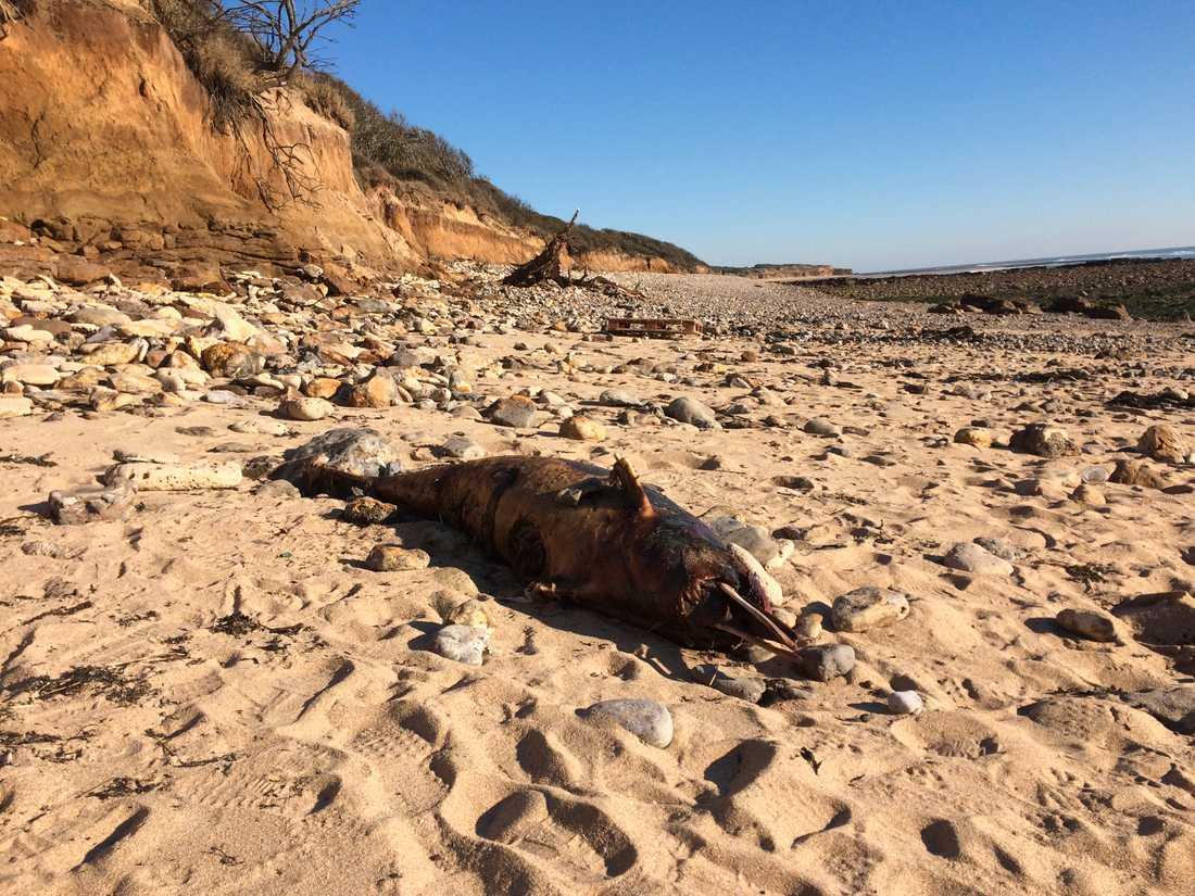 En död delfin på stranden i Jard sur Mer, vid Frankrikes kust mot Atlanten.