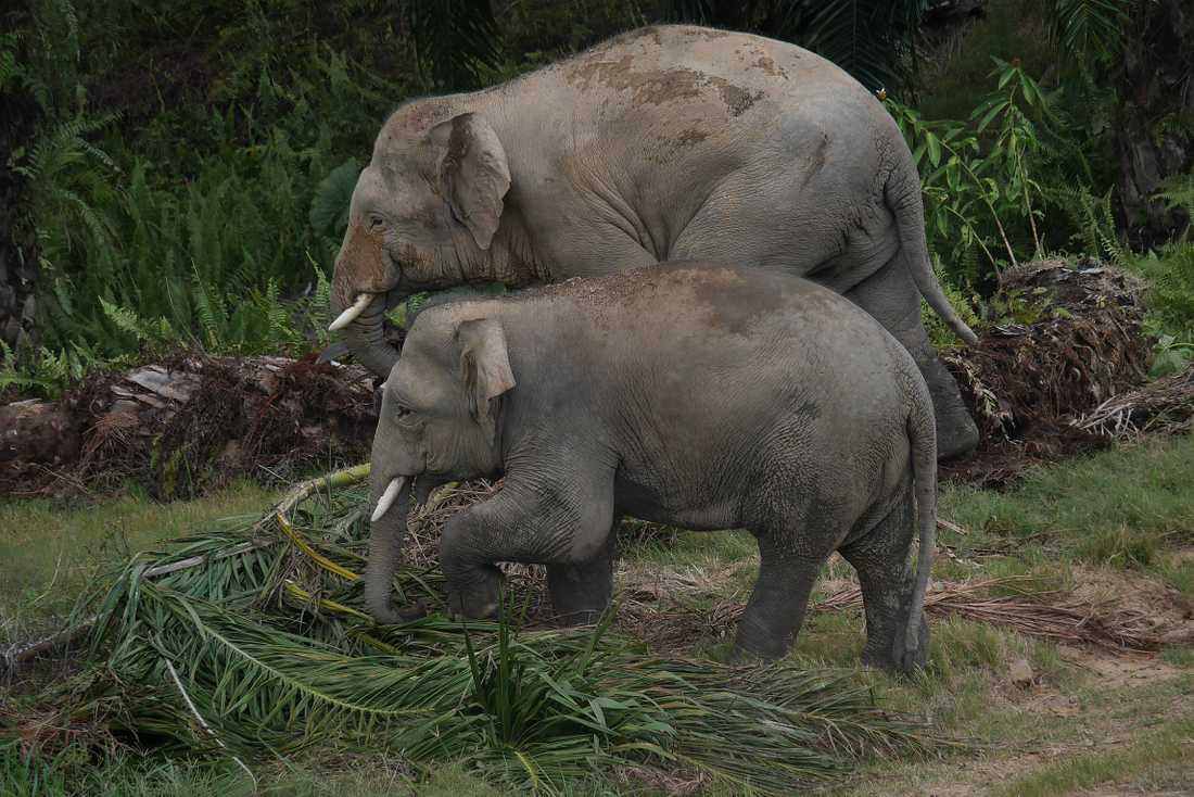 Två dvärgelefanter på Borneo undersöker om det finns något ätbart bland oljepalmsbladen. Dvärgelefanten hör till de få djur som kan utnyttja oljepalmerna.