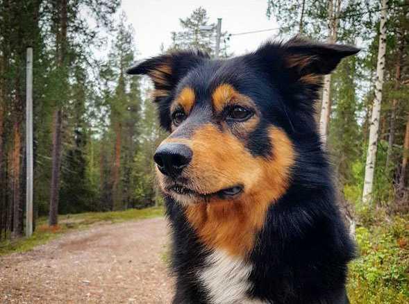 Ailo, working kelpie/border collie, från Arvidsjaur har blivit utsedd till frimärkshund i Postnords tävling.