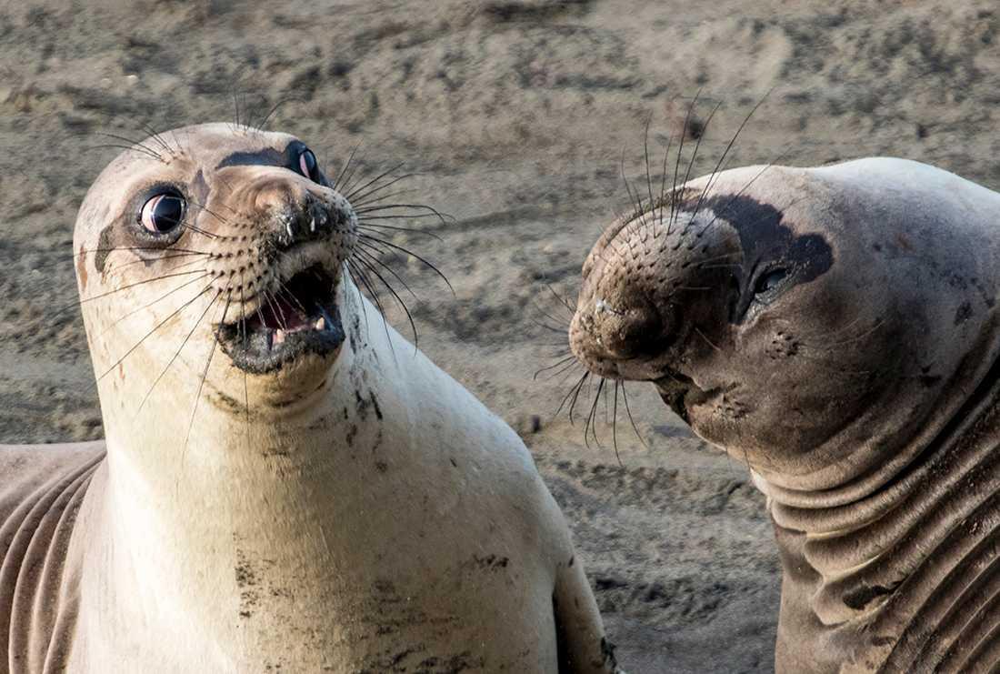 """""""SJÖKON GJORDE VAD?"""" Den här skvallerstunden mellan två sjöelefanter ägde rum i San Simeon, Kalifornien. George Cathcart var påpassligt på plats."""
