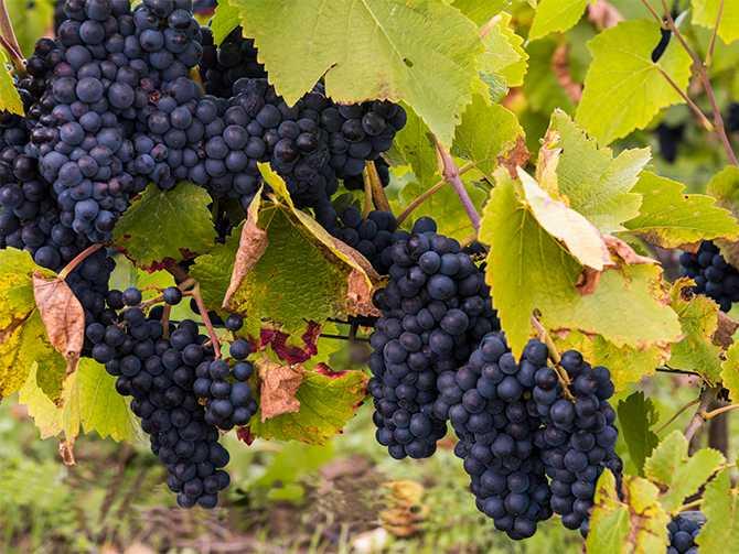 Pinot noir. Druvorna sitter tätt och gör frukten extra känslig.
