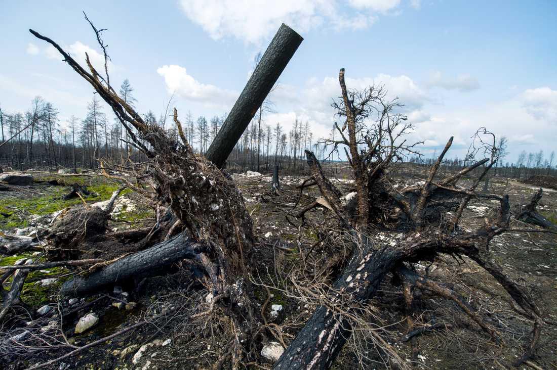 Sörhörende, ett år efter skogsbranden i Västmanland 2014.