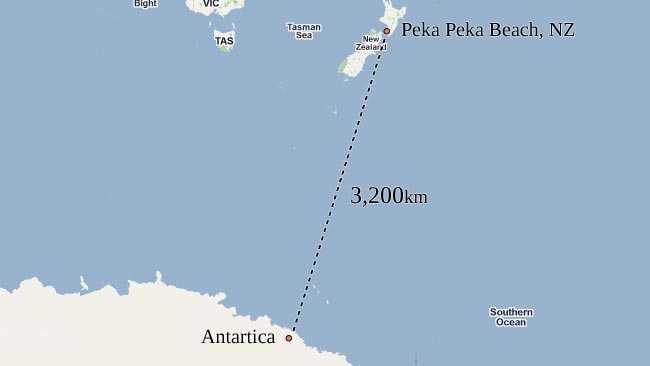 Happy Feet får en lång simtur hem till Antarktis...