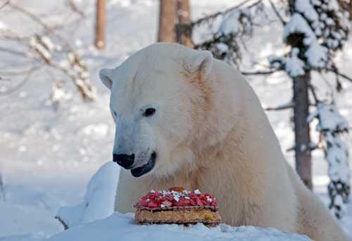 Tårtkalas Det vankades tårta på Ewas kalas på Orsa Björnpark. Överst på tårtan tronade en blåbärsmuffins.